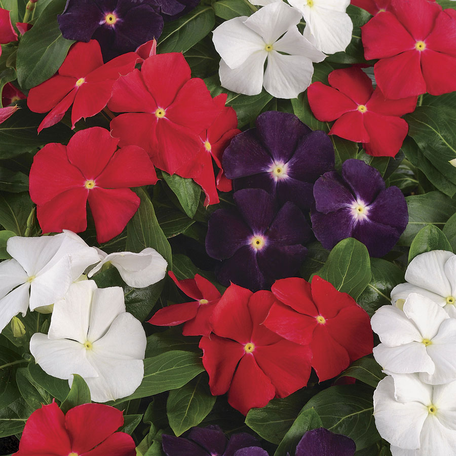 8b69a9a9f Jams N Jellies American Pie Mix Vinca Seeds