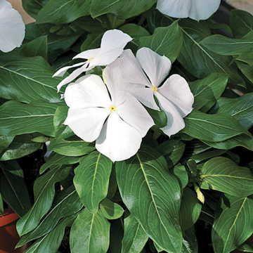 Cora White Vinca Flower Seeds