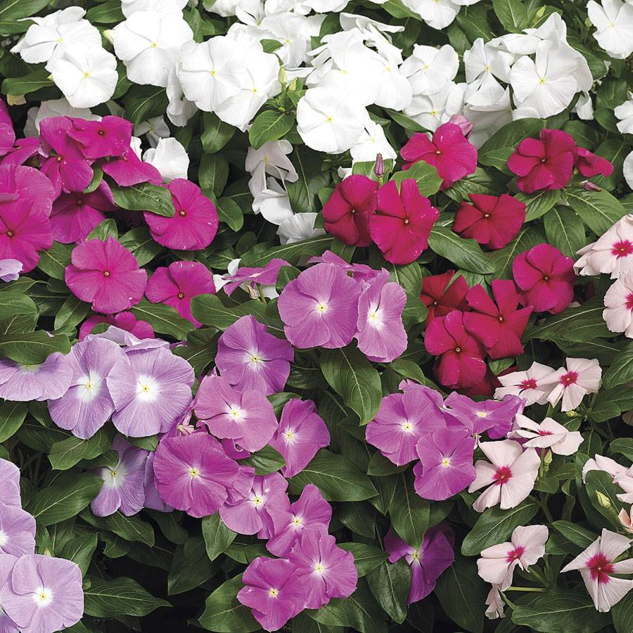 Cora Mix Vinca Flower Seeds