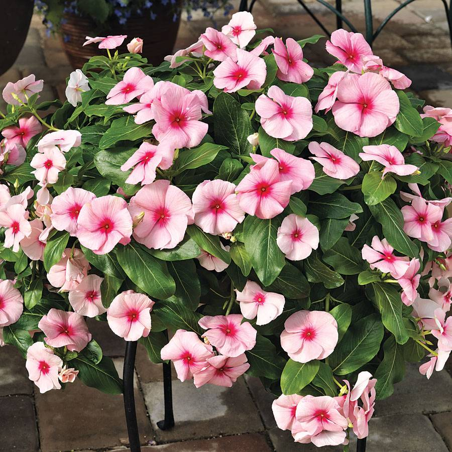 534baf501 Cora® Cascade™ Strawberry Vinca Seeds