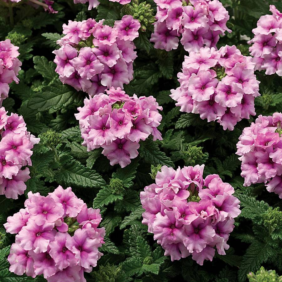 tuscany orchid frost verbena seeds from park seed