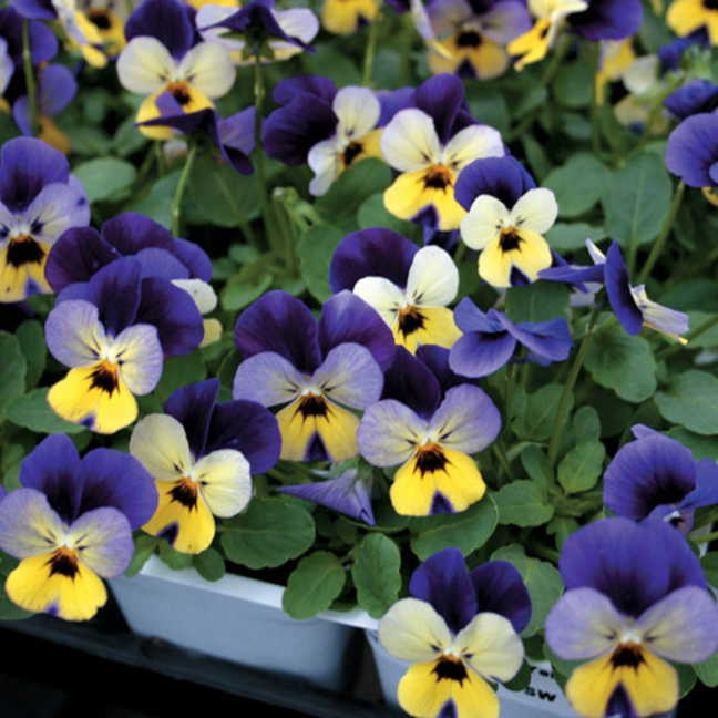 Trailing Johnny Jump Up Viola Seeds Image