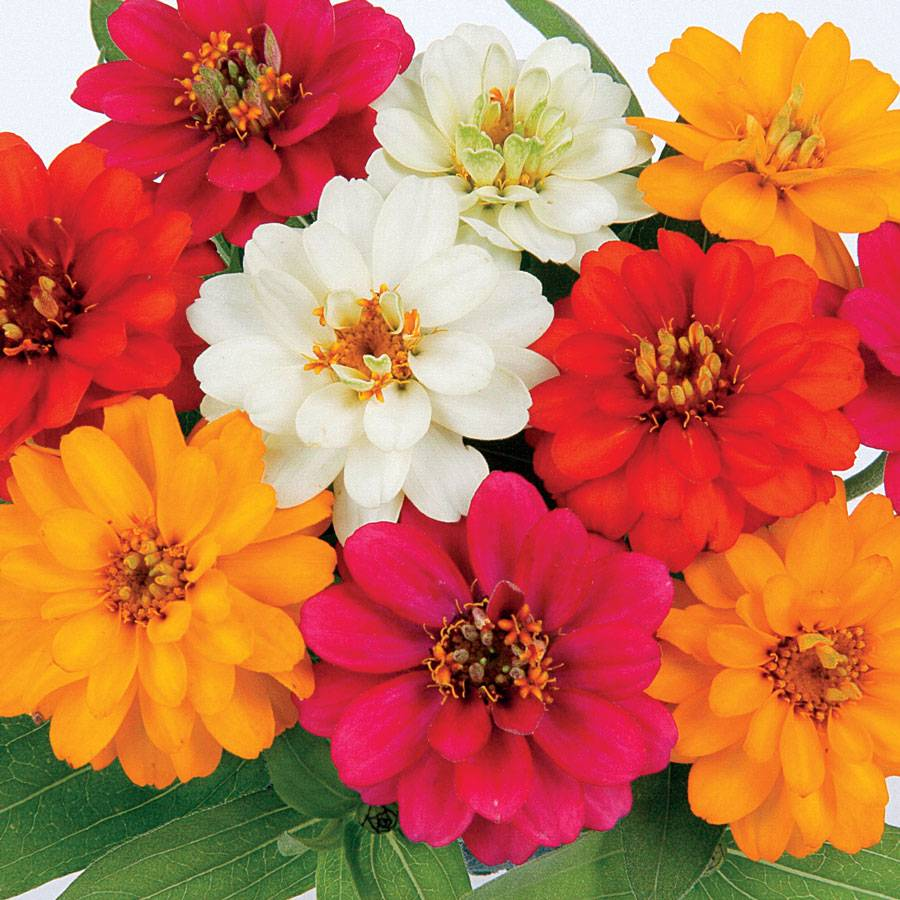 Profusion Double Mix Zinnia Seeds