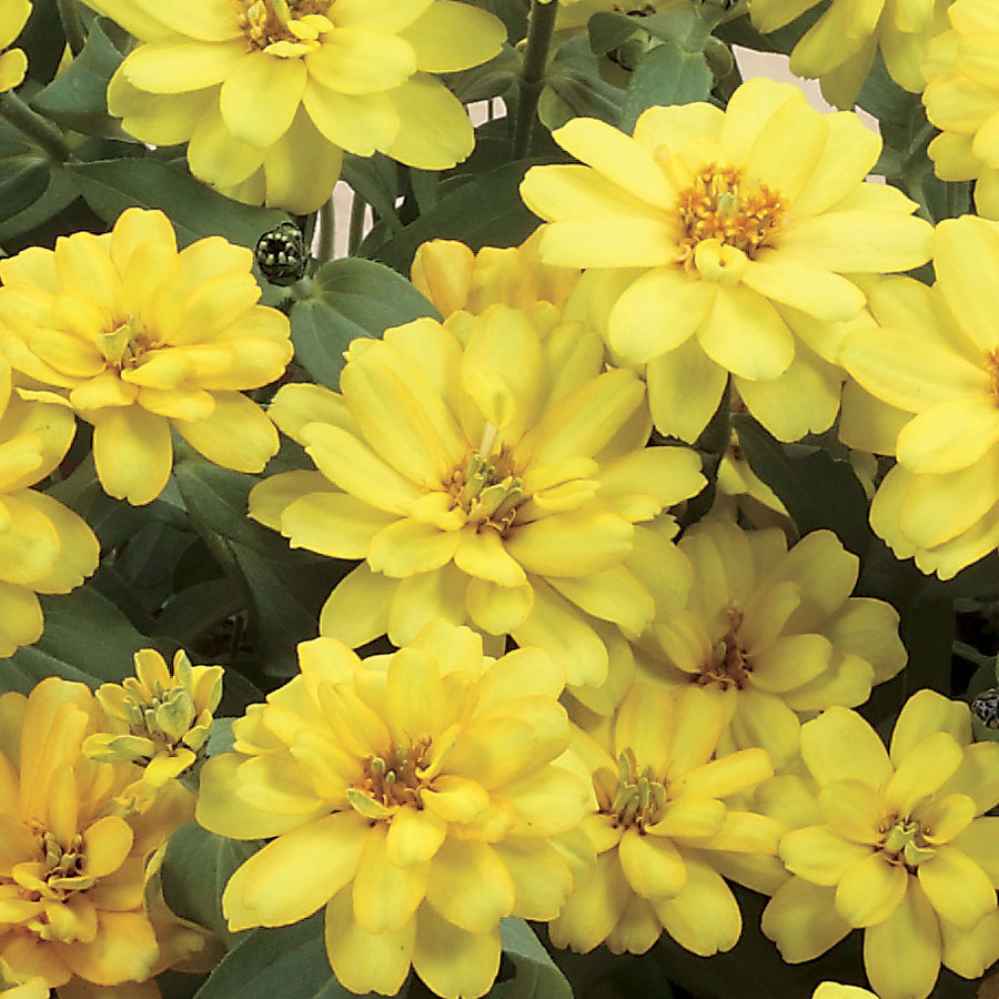 Zinnia profusion double yellow seeds sold out zinnia profusion double yellow seeds mightylinksfo