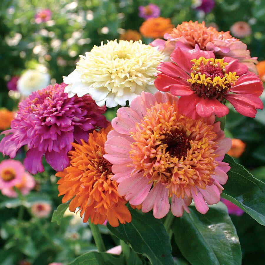 'Candy Mix' Zinnia Seeds Image