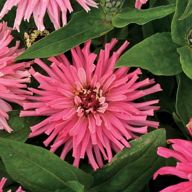 'Pinca' Zinnia Seeds Image