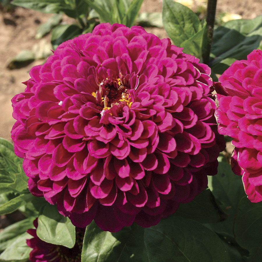 'Tudor' Zinnia Seeds Image