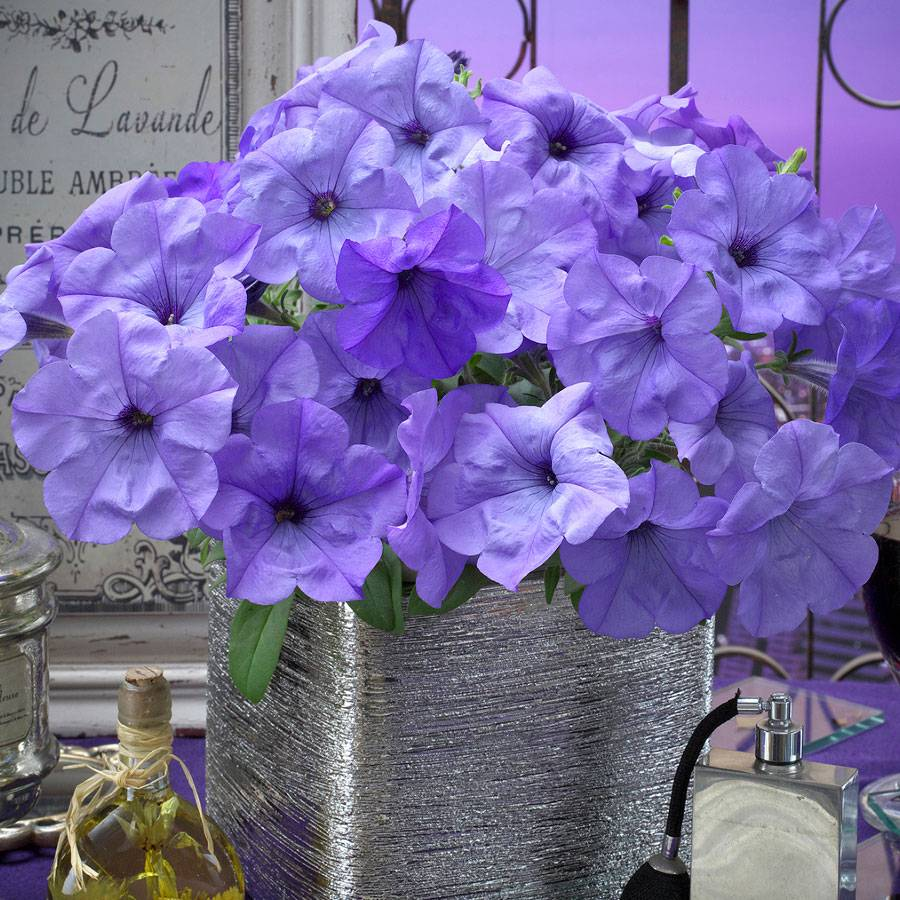Evening Scentsation Petunia Seeds