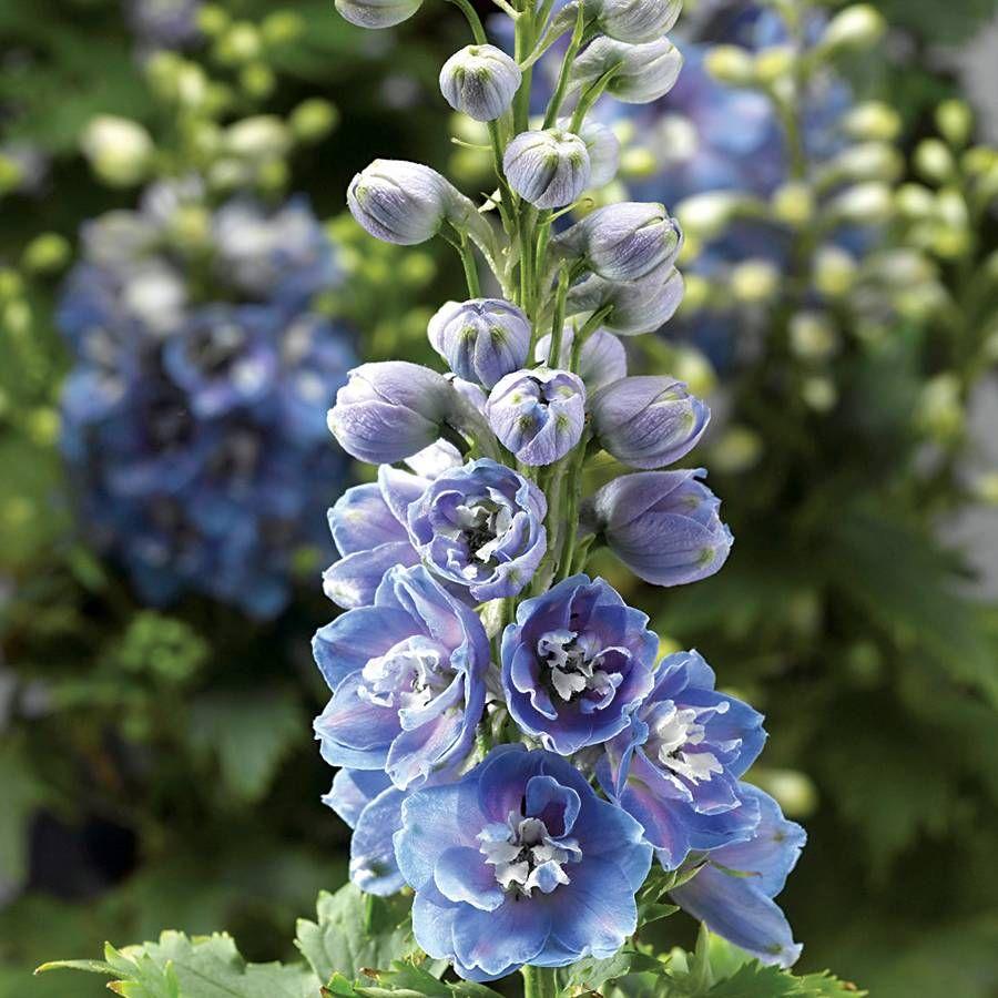 Delphina light blue white bee delphinium from park seed new delphina light blue white bee delphinium mightylinksfo