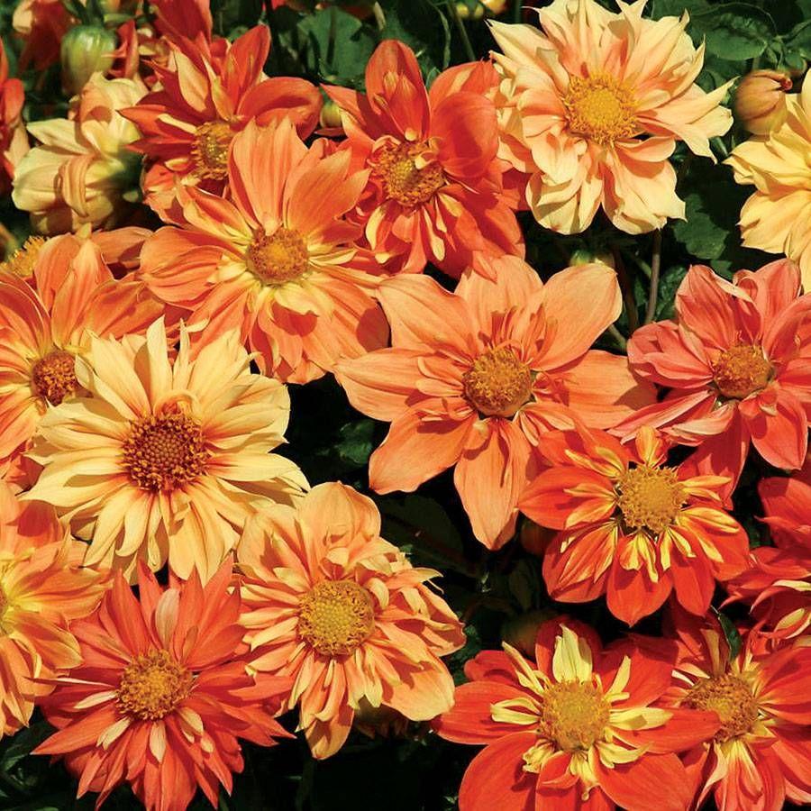 'Sunny Reggae' Dahlia Seeds Image