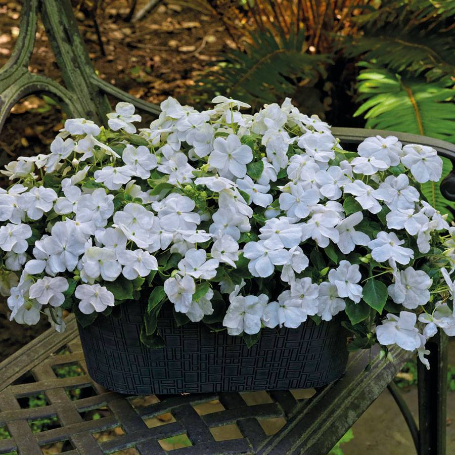 Shady Lady II White Hybrid Impatiens Seeds from Park Seed White Impatiens Flowers
