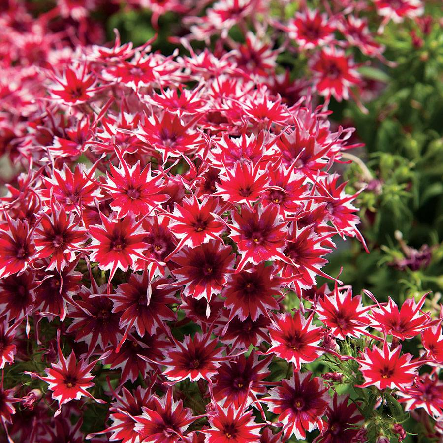 Popstars Red Phlox Seeds From Park Seed
