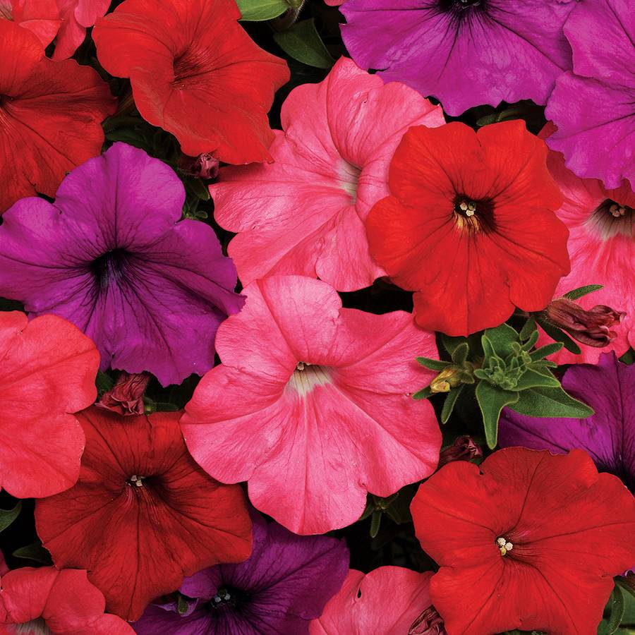 Easy Wave South Beach Mix Petunia Seeds From Park Seed