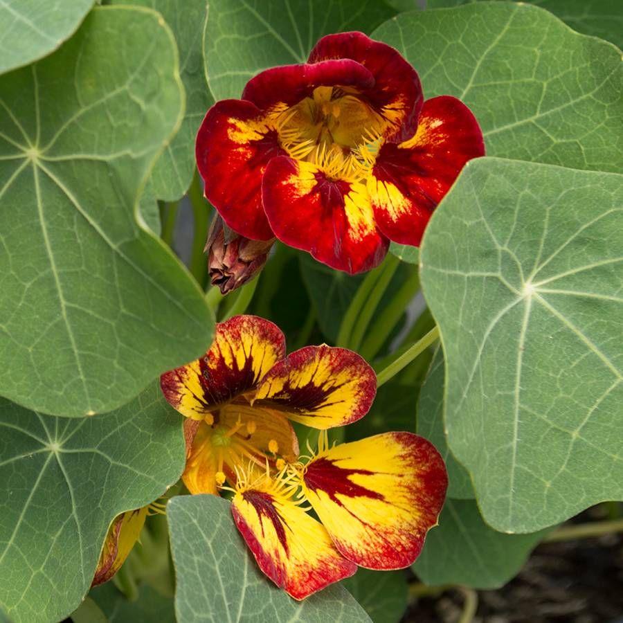 'Orchid Flame' Nasturtium Seeds Image