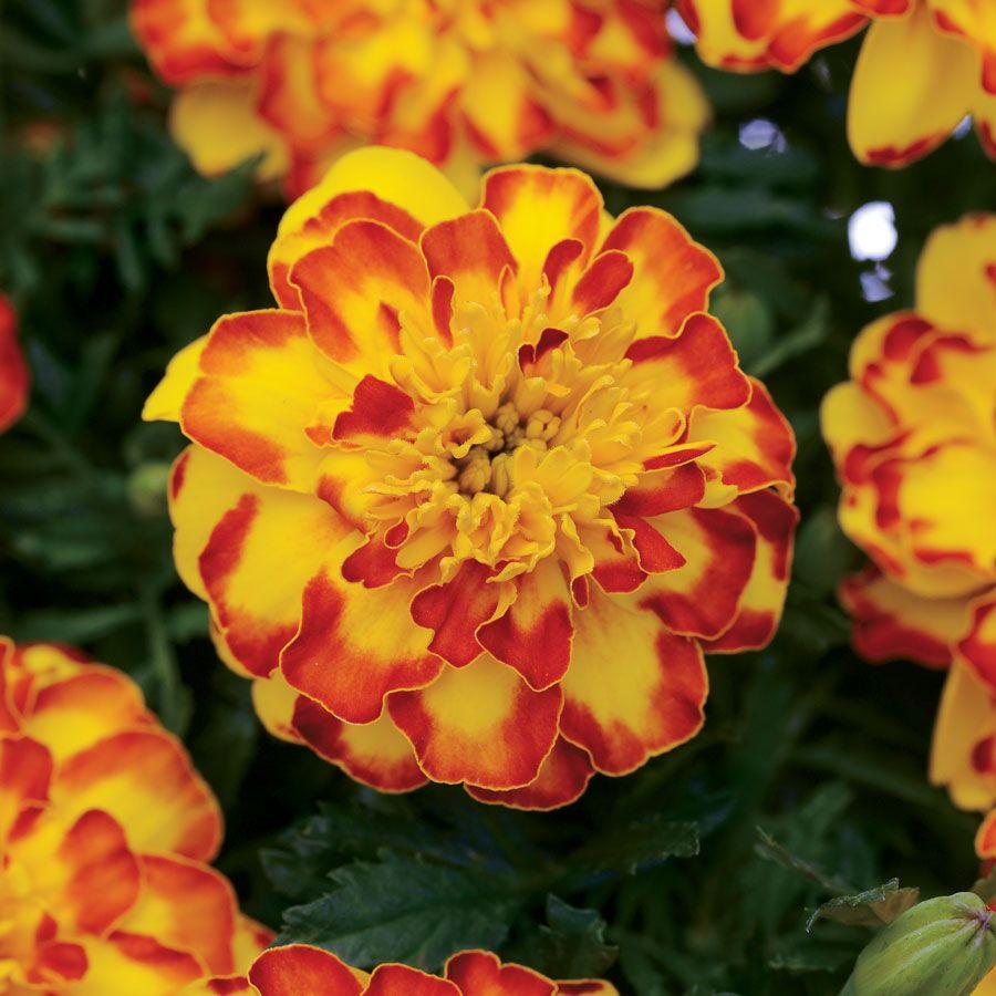 Flamenco Marigold Seeds Image