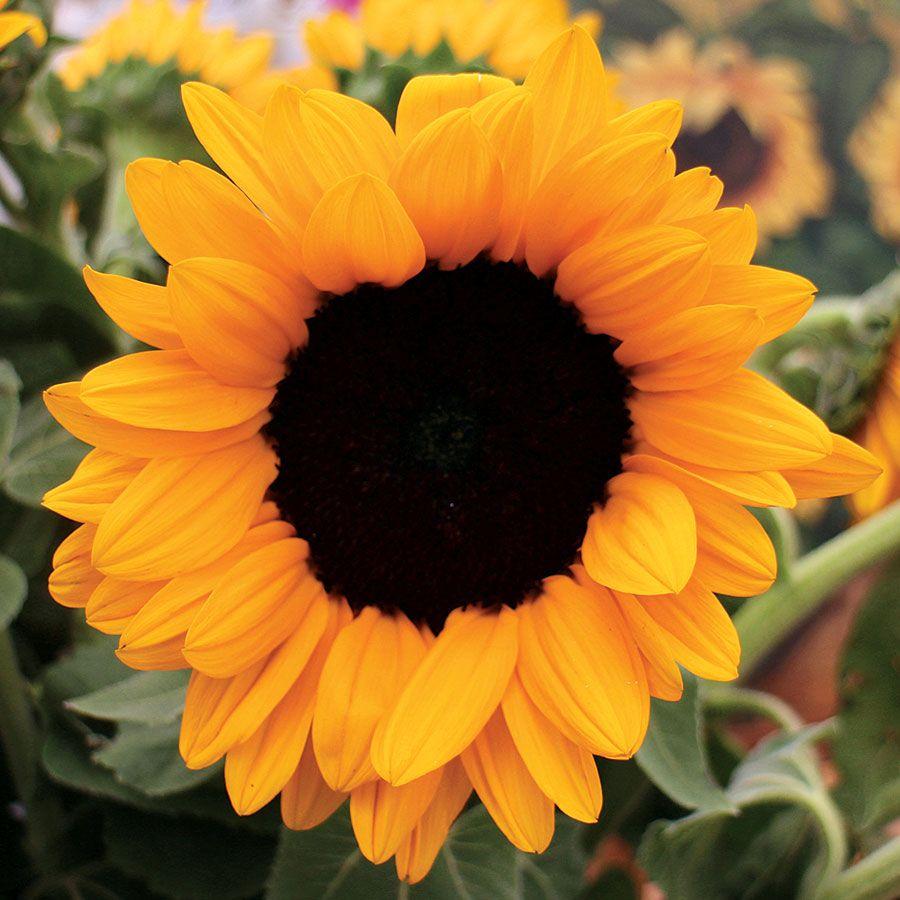 Vincent's® Choice Hybrid Sunflower Seeds Image