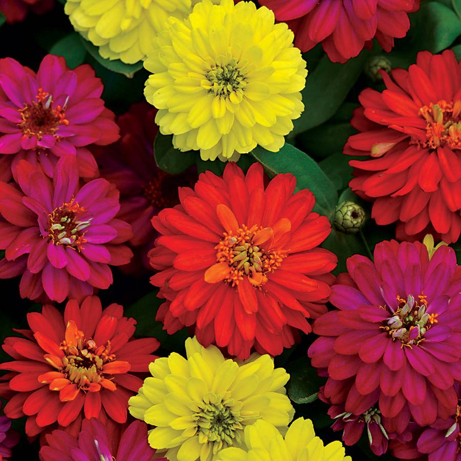Zahara® Double Brilliant Mix Zinnia