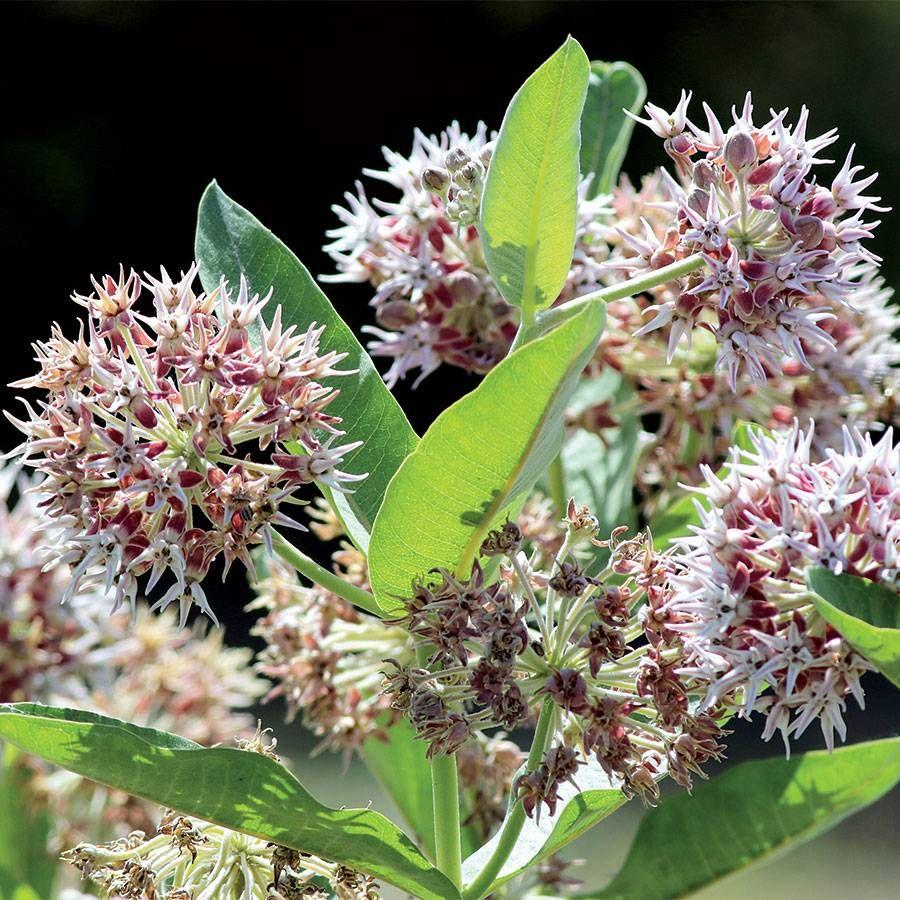Showy Milkweed Seeds Image