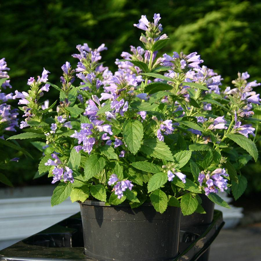 Panther Dark Blue Japanese Catmint Seeds Image