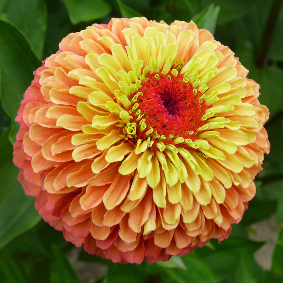 Queeny Lime Orange Zinnia