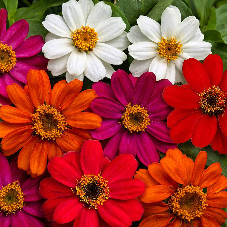 Profusion AAS Mix Zinnia Seeds Image