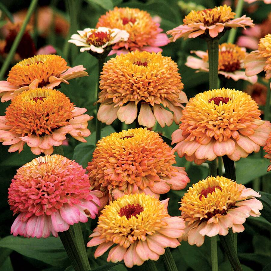 Zinnia Annual Or Perennial