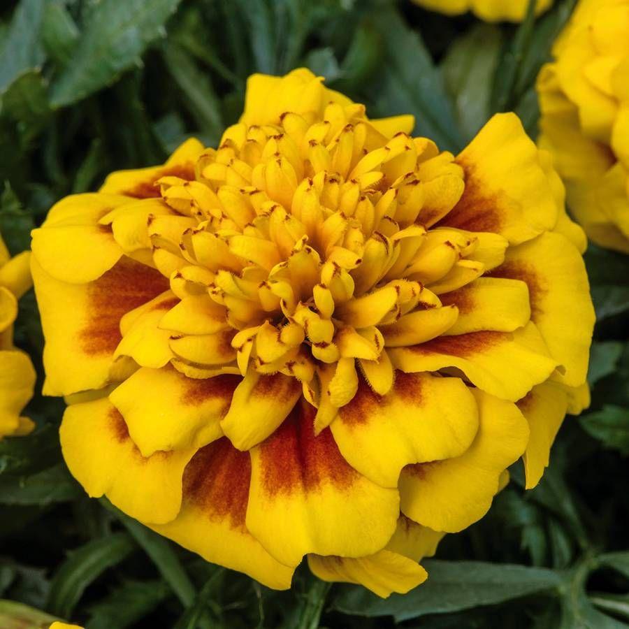 Super Hero™ Yellow Bee Marigold Seeds Image
