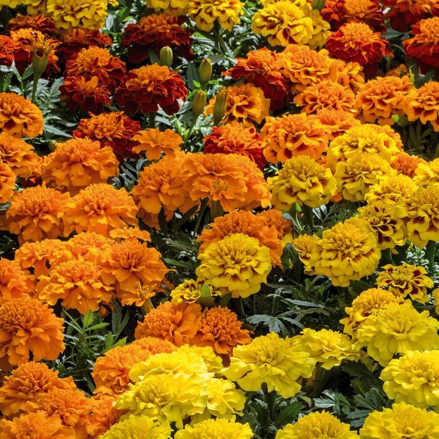 Super Hero™ Mix Marigold Seeds Image