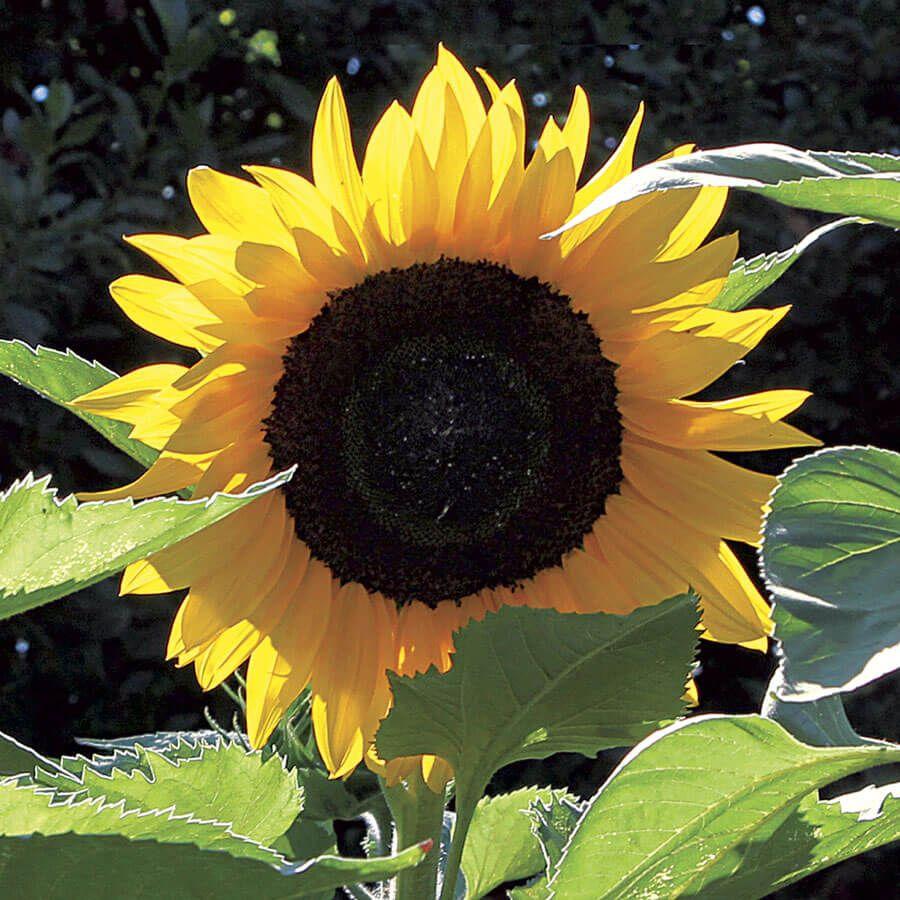 Treetops F1 Sunflower Seeds Image