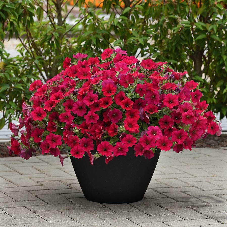 Carmine Velour Wave® Petunia