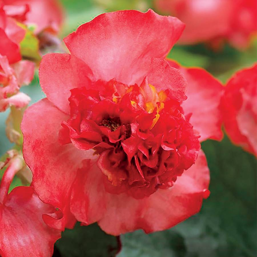 Fiona Red Begonia