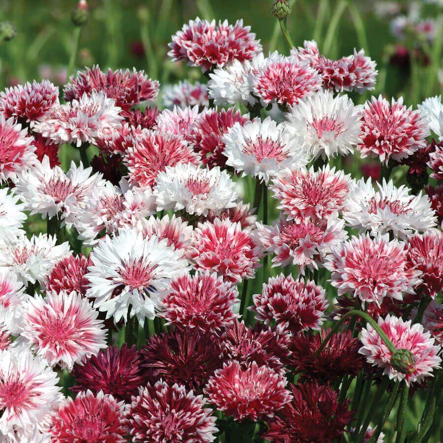'Classic Romantic' Mix Centaurea Seeds Image
