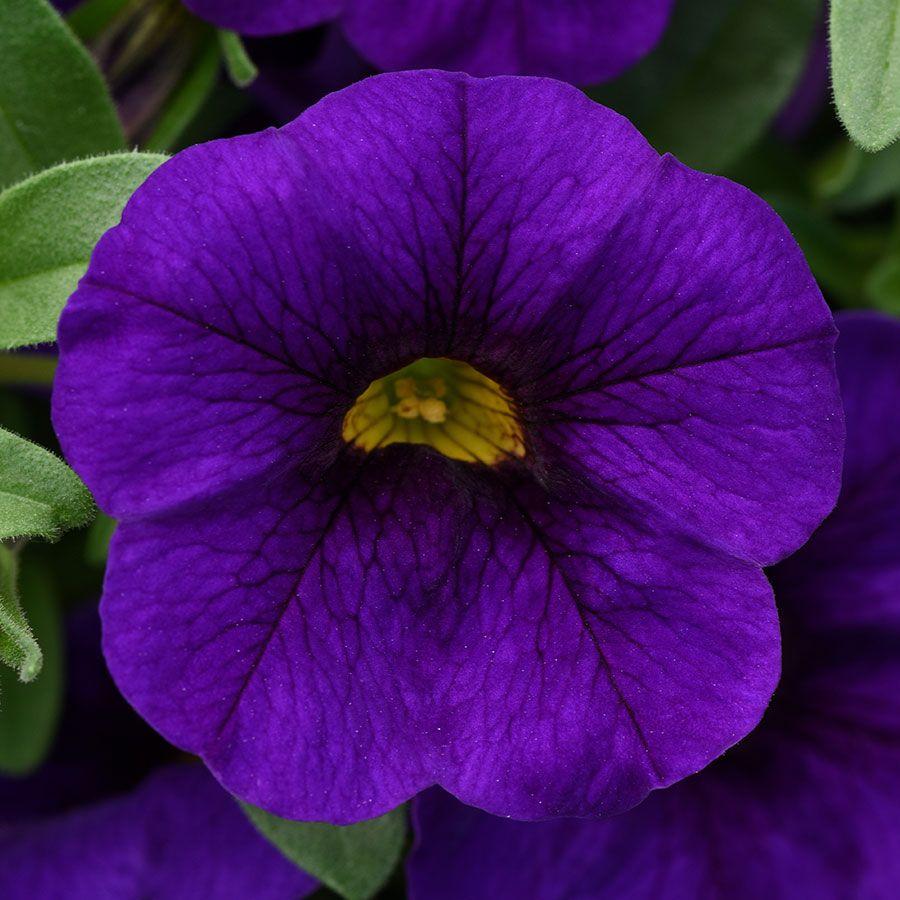 Kabloom® Blue Calibrachoa Seeds Image