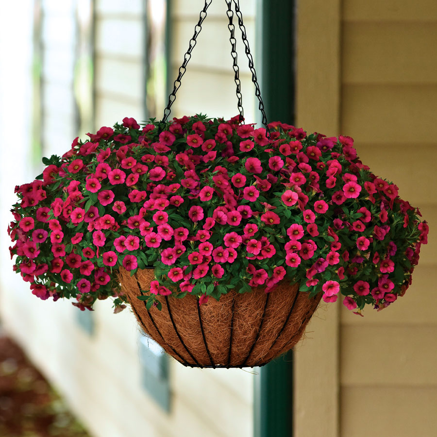 Kabloom® Cherry Calibrachoa