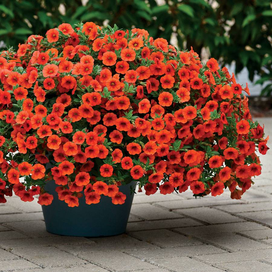 Kabloom® Orange Calibrachoa
