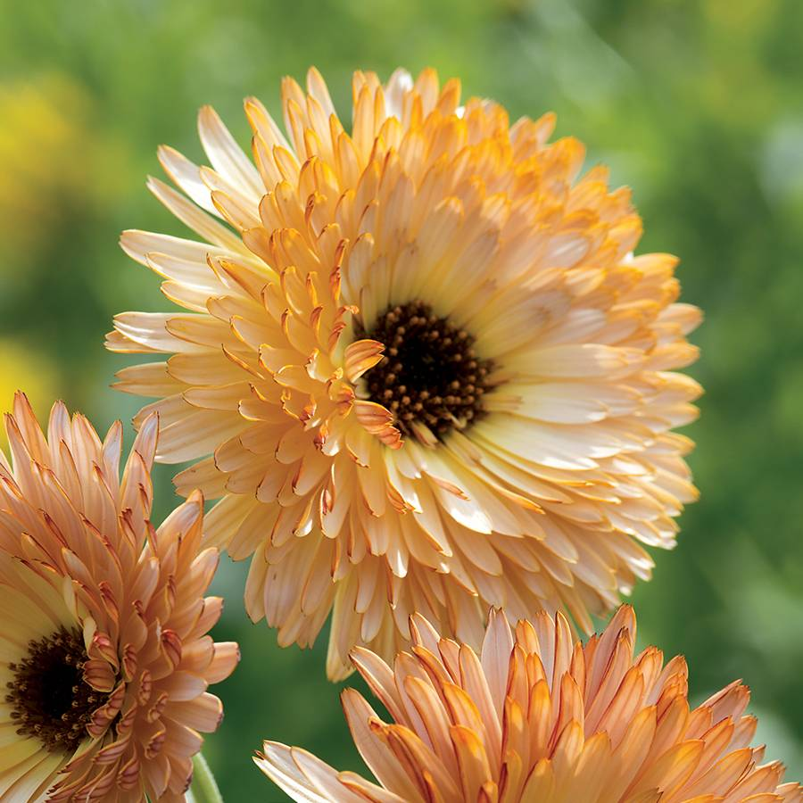 'Orange Flash' Calendula Seeds Image