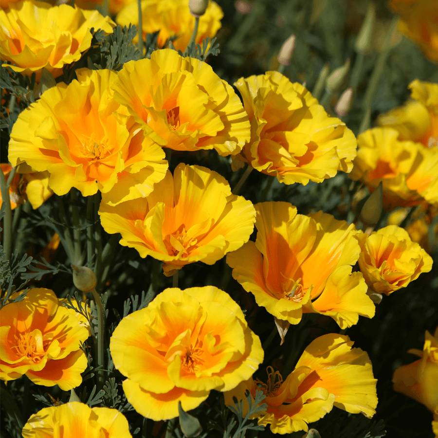 'Yukon Gold' Poppy Seeds Image