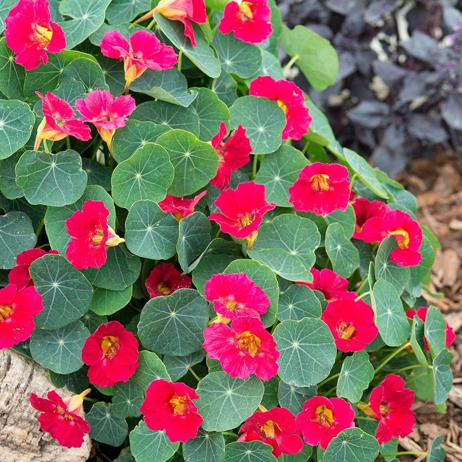 Baby Rose Nasturtium Seeds Image