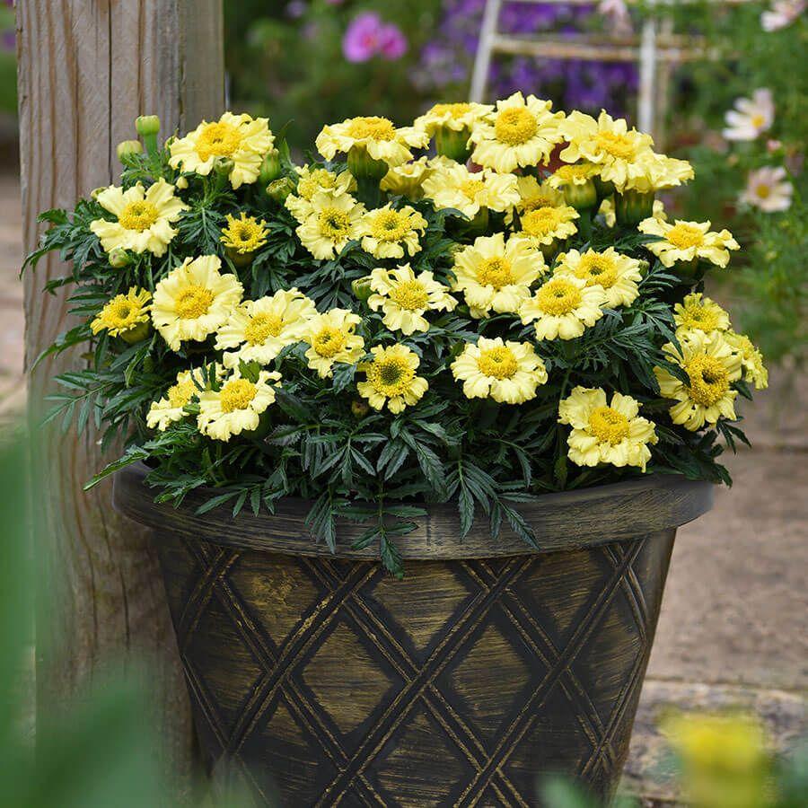'Daisy Wheel Lemon' Marigold Seeds Image