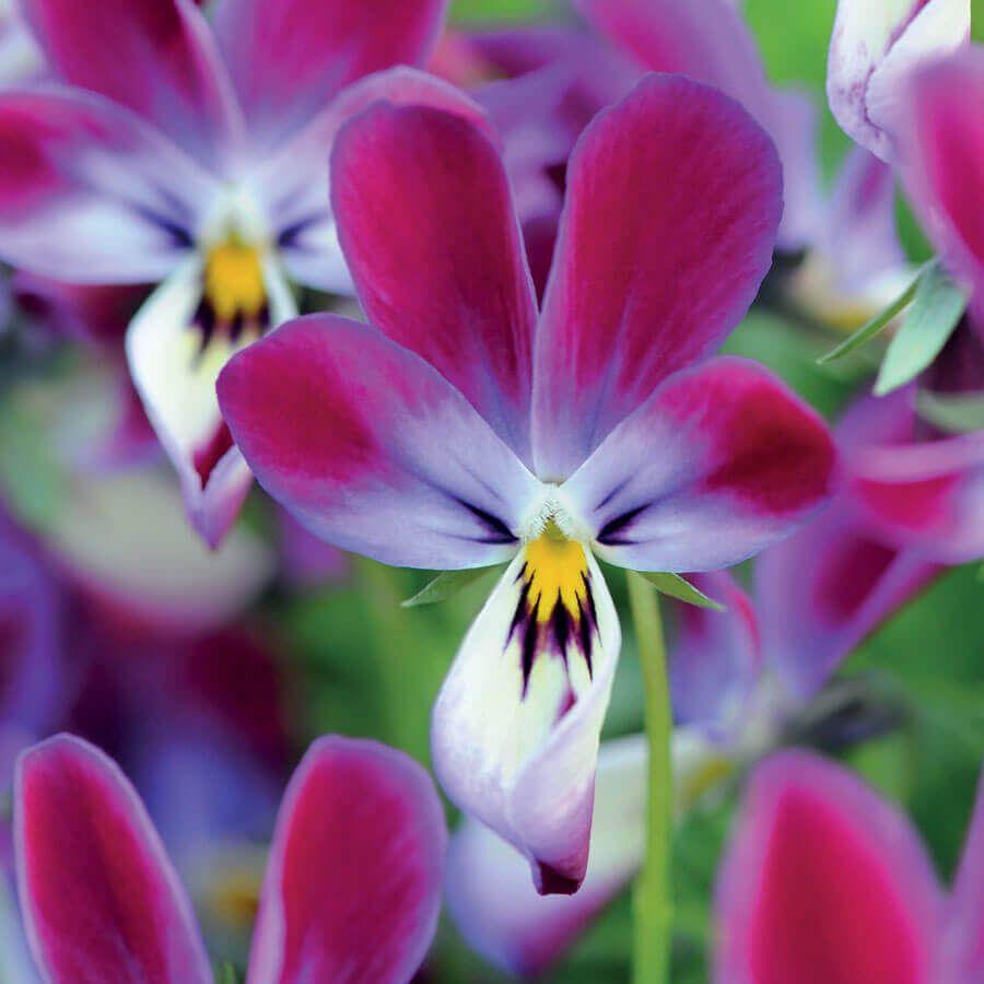 'Bunny Ears' Viola Seeds Image