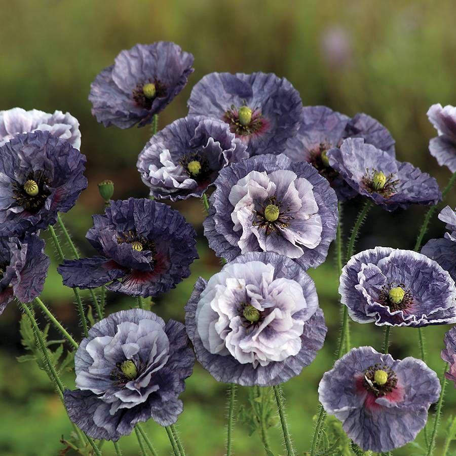 Amazing Grey Poppy Seeds Image