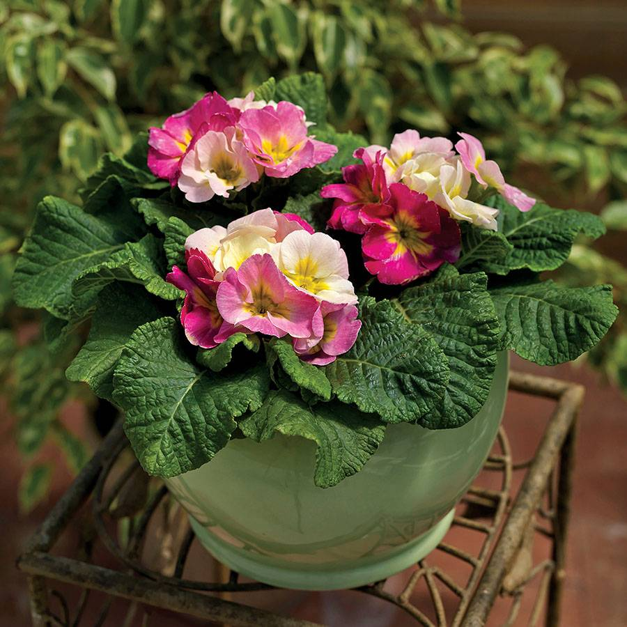 Primula Sweet 16 Image
