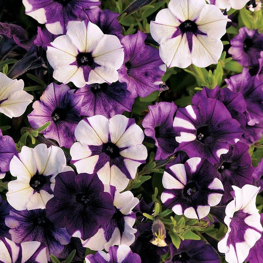 Shock Wave® Tie Dye Purple Petunia Seeds Image