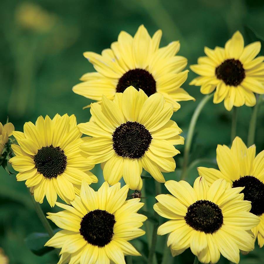 Soluna Lemon Sunflower Seeds Image