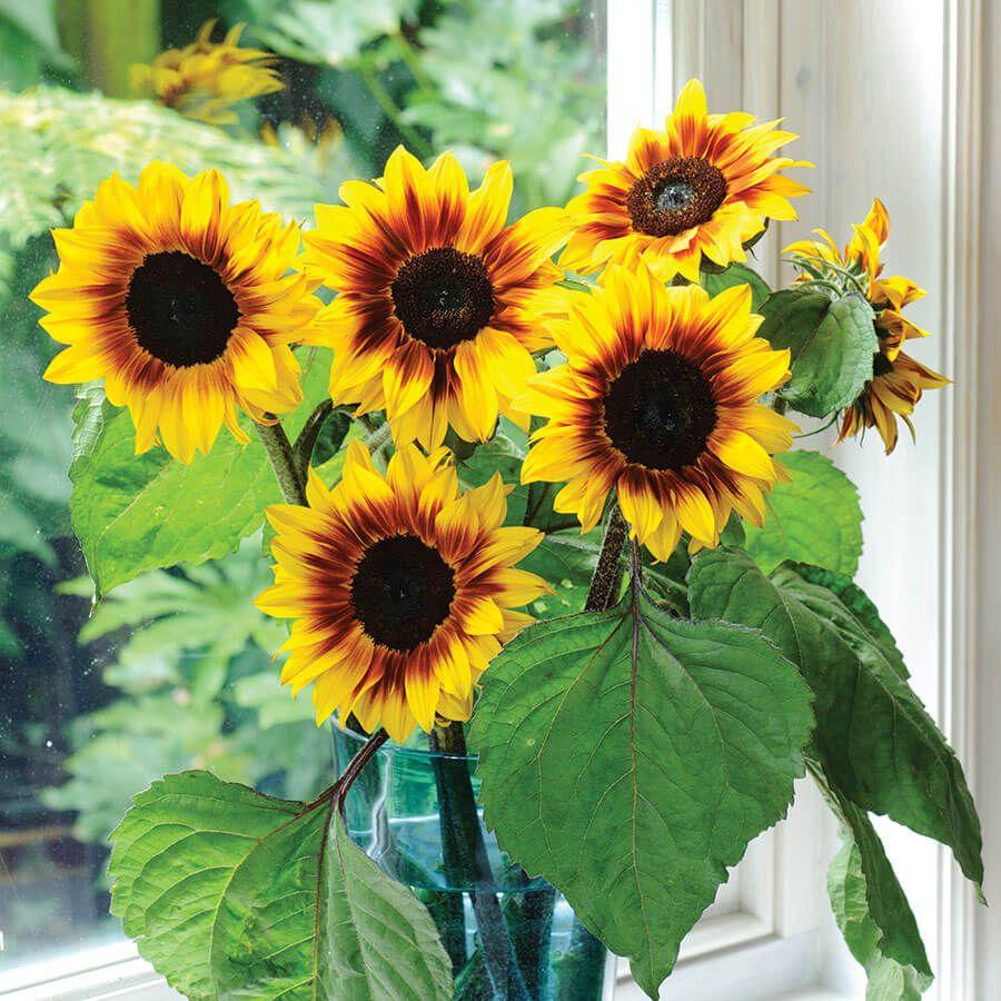 'Helios Flame' Hybrid Sunflower Seeds Image