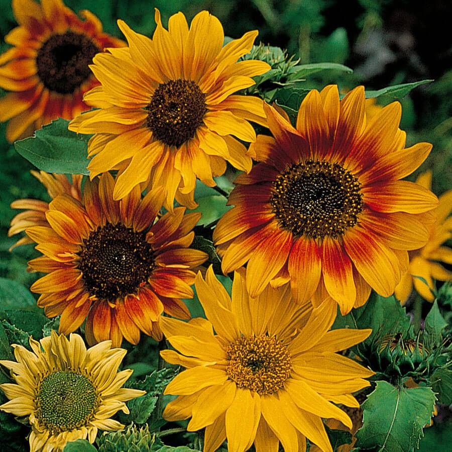 'Autumn Time' Sunflower Seeds Image
