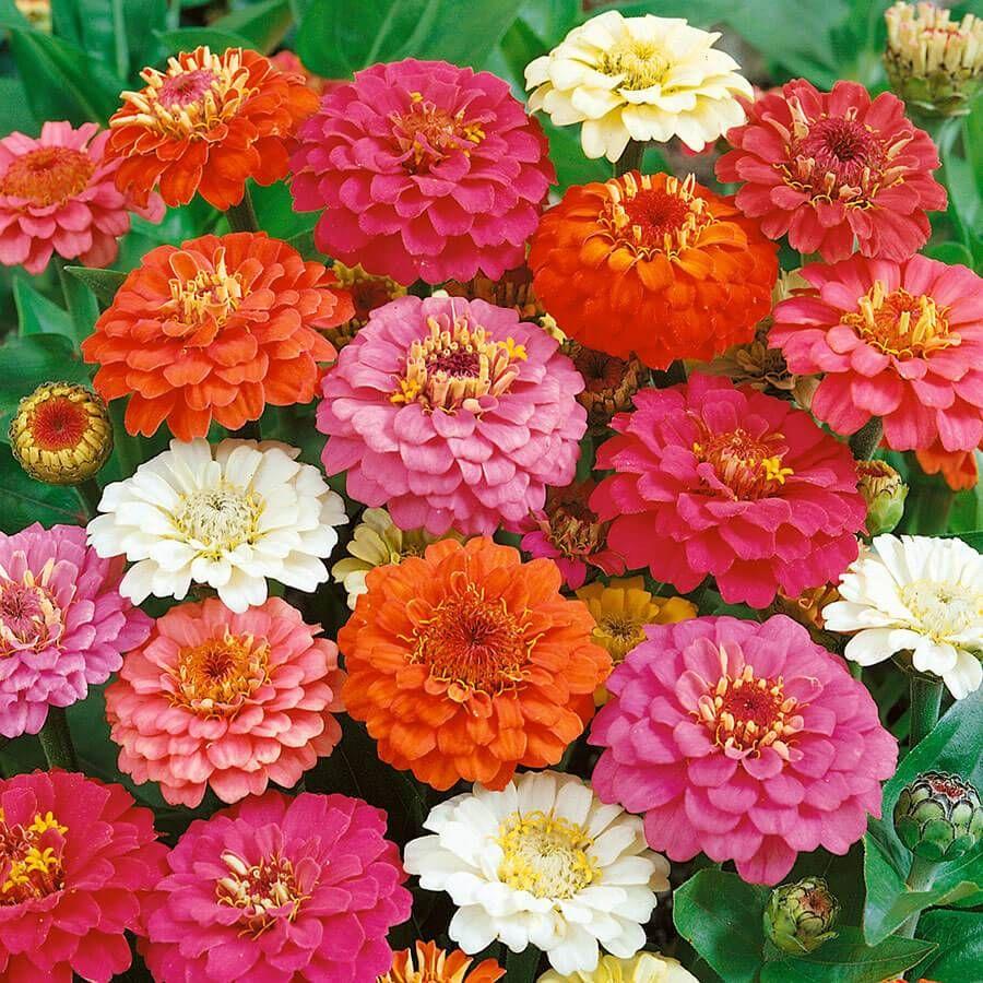 Thumbelina Mix Zinnia Seeds Image
