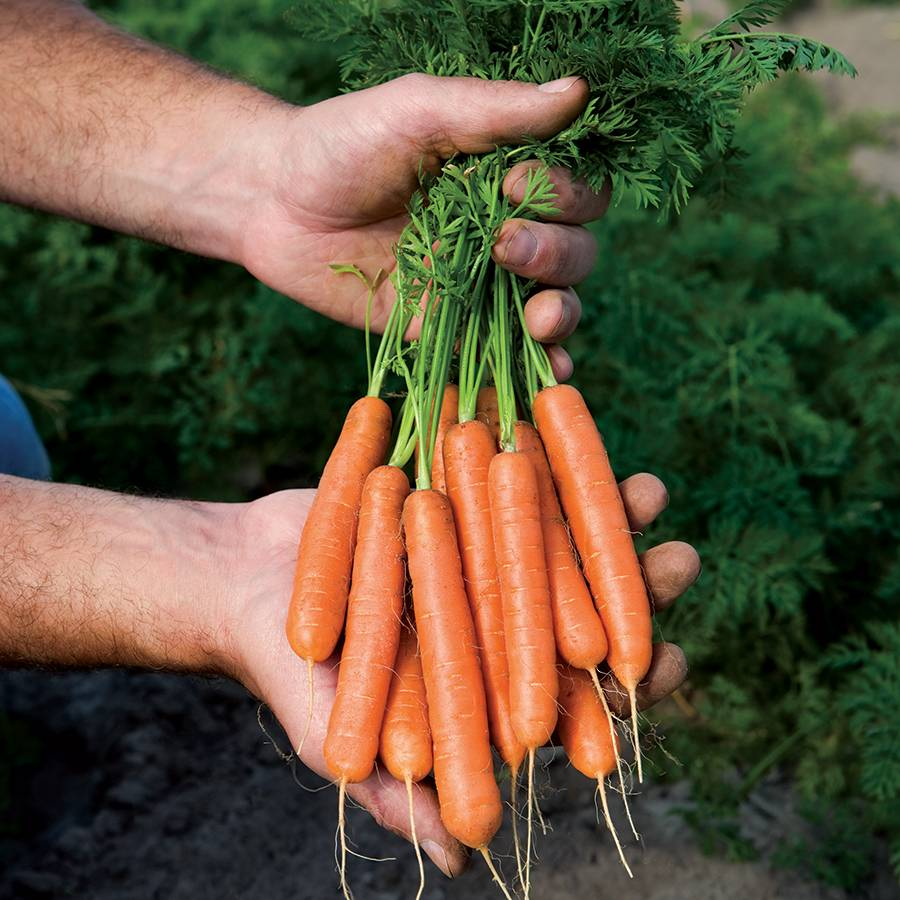 Mini Adelaide Hybrid Carrot Seeds From Park Seed