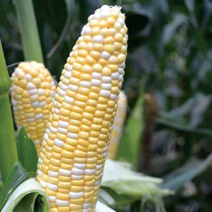 American Dream Hybrid Corn Seeds Image