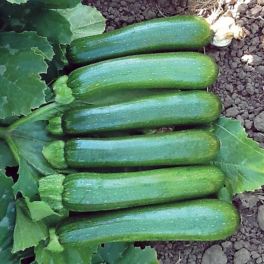 Green Machine F1 Organic Zucchini Seeds Image